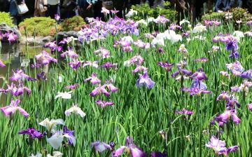 平安神宮 美しい花菖蒲