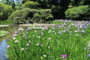 平安神宮 花菖蒲 池