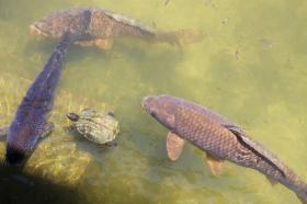 平安神宮 池 鯉 スッポン 亀