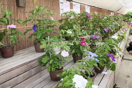 京都府立植物園 朝顔展11