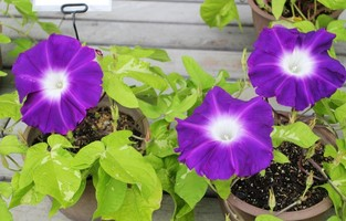 京都府立植物園 朝顔展の朝顔の花