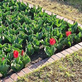 3月下旬の京都植物園 チューリップの花壇