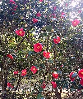 京都府立植物園に咲いている赤い椿の花