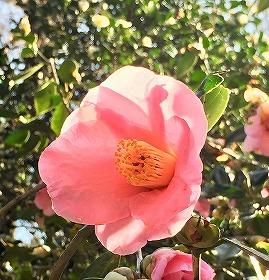 京都府立植物園に咲いていたピンクの椿