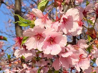 京都植物園の濃いピンクの桜の花 アップ