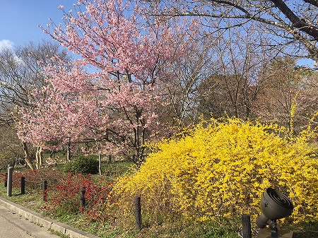 京都府立植物園 桜と黄色の花の風景