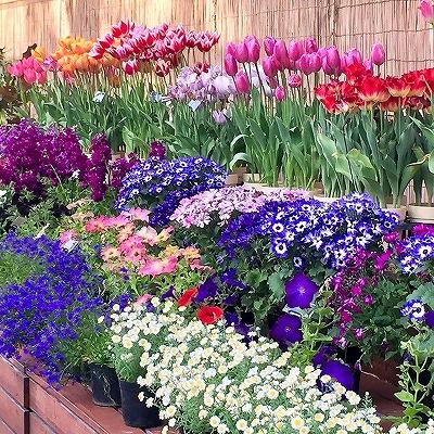 京都府立植物園の花壇 色とりどりのチューリップなど