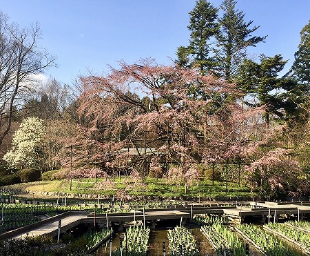 京都府立植物園の大枝垂れ桜 開花