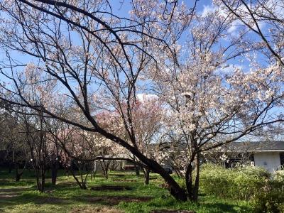 京都植物園 越の彼岸桜(コシノヒガンザクラ)開花