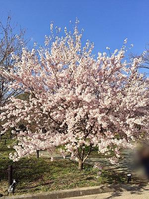 京都府立植物園の満開の桜 3月下旬