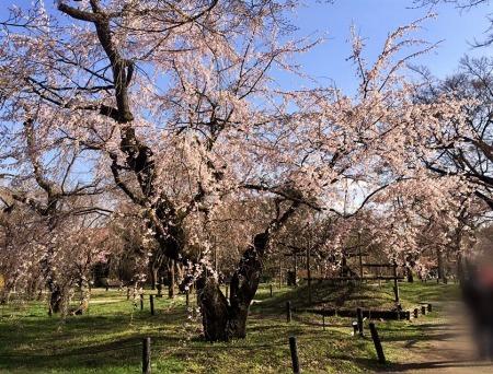 京都府立植物園の大きな桜の木の花