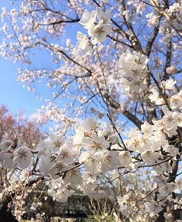 京都府立植物園の桜の花 アップ