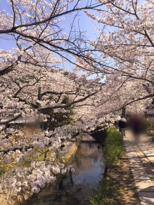 哲学の道の川と見頃の桜