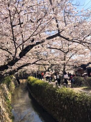 哲学の道の満開の桜