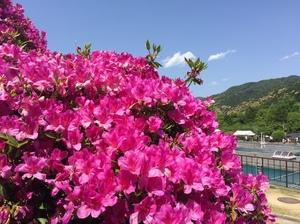 京都市蹴上浄水場の一般公開 満開のつつじ