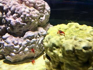 ニフレルの生き物 水槽の中の赤いエビ