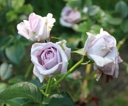 ブルーバューという名の青いバラ