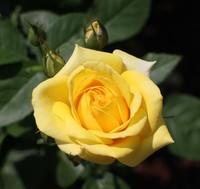 京都府立植物園 ばら園の黄色いバラ
