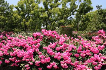 5月に京都府立植物園で咲いていたバラの花