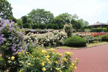 京都府立植物園 ばら園の薔薇