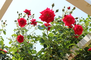 京都府立植物園 アーチの上の赤いバラ