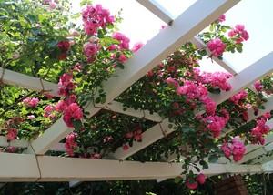 京都府立植物園で咲いていた美しいバラ