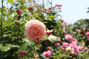 京都府立植物園 ばら園の可愛いピンクのバラ