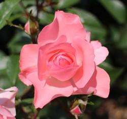 京都府立植物園 ばら園の美しく上品なピンク色の薔薇