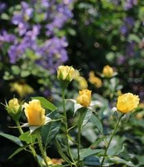 京都府立植物園 ばら園の黄色いバラ2