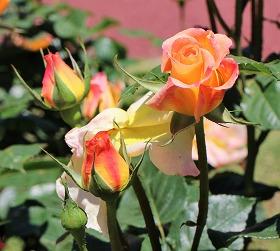 モナ リザという薔薇