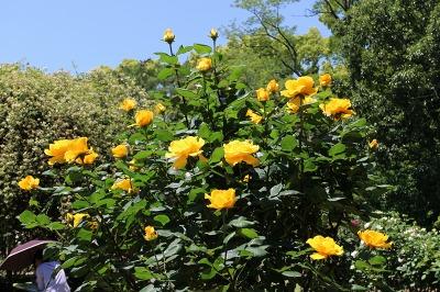 京都府立植物園の綺麗なバラ