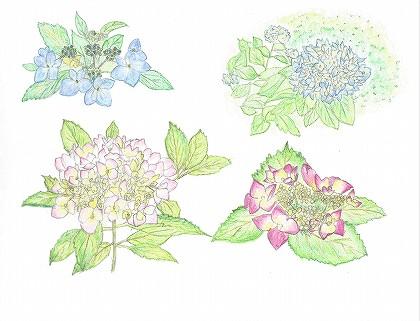 紫陽花のスケッチ 水彩色鉛筆で描いた絵