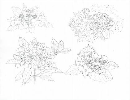 京都府立植物園のアジサイのスケッチ 鉛筆画