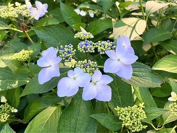 京都府立植物園のガクアジサイ