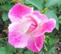 ガーデンミュージアム比叡の薔薇