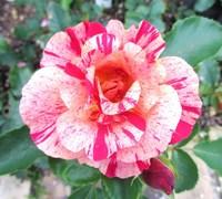 ガーデンミュージアム比叡のバラの花