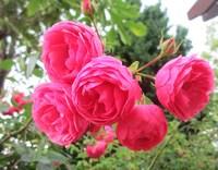 ガーデンミュージアム比叡 ローズガーデンのバラ