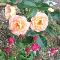 ガーデンミュージアム比叡 ローズガーデンの薔薇