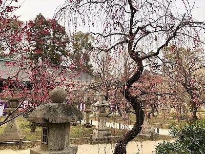 北野天満宮 境内の紅い梅が咲く