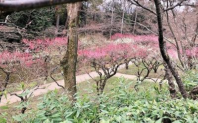 北野天満宮 梅苑 見頃の梅の花