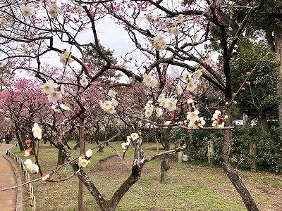 北野天満宮 梅苑 紅白の梅が咲く