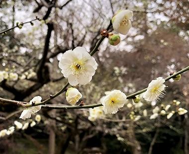 北野天満宮 梅苑 白い梅の花のアップ