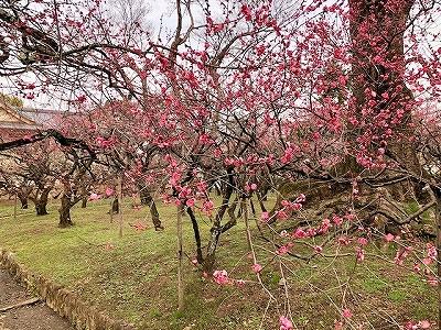 北野天満宮 梅苑の梅の花 2月