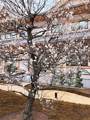 北野天満宮 梅苑の白い梅の花