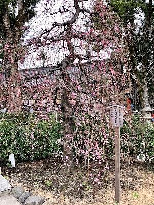 北野天満宮の枝垂れ梅(しだれ梅)が開花