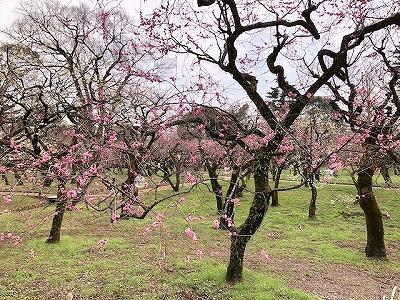 北野天満宮の梅が開花 梅苑が見頃