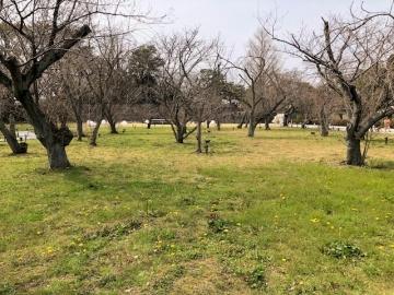 二条城 桜の園