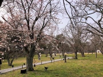 二条城 桜の園に咲いていた桜の花