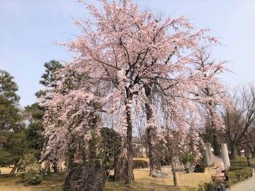 二条城 満開の桜