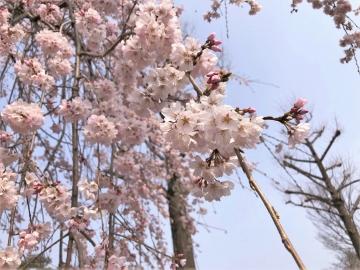 二条城の桜のアップ